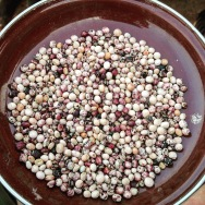 Ase beans, Brong Ahafo Region 2016